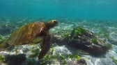 conservação : Green sea turtle swimming next to fish in galapagos islands rock reef. Full hd slow motion footage. Vídeos