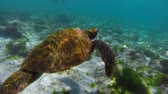 vida marinha : Green sea turtle swimming next to fish in galapagos islands rock reef. Full hd slow motion footage. Vídeos