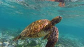 santuário : Close up underwater shot of Galapagos green sea turtle swimming to breathe air in the surface. Full hd footage in slow motion.