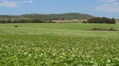 soja : Rural field landscape with green crop leaves blowing in the wind. Outdoor agriculture shot of soy bean farm.