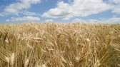breeze : Golden wheat crops moving in the wind on rural farm landscape. Close up nature agriculture shot. Stock Footage