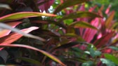 raro : Close up of exotic tropical leaves in jungle landscape outdoor, rare pink leaf plants on summer vacation.