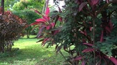 purpurový : Exotic tropical jungle trees and leaves in park landscape outdoor, rare pink leaf plants on summer vacation. Dostupné videozáznamy