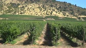 Vineyard hills on hot summer day, grape plant rows in beautiful nature landscape. Slow motion travelling footage of outdoor vacation shot.