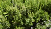 video : Green perennial rosemary grass in the garden, delicious spice
