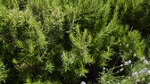 rozmaring : Green perennial rosemary grass in the garden, delicious spice