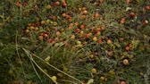 yalan : Ripe apples, fallen apple from the tree Autumn landscape Stok Video