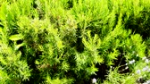 sabor : Green perennial rosemary grass in the garden, delicious spice