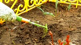 desherbage : Womens hands in gloves loosening rake soil in a flower bed with sprouted flowers, spring work in the garden