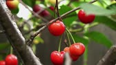 темно бордовый : sour cherry orange color Стоковые видеозаписи