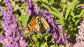 kelebekler : Monarch butterfly on Mexican Sage flowers Stok Video
