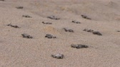 рептилия : baby sea turtles make their way to the beach