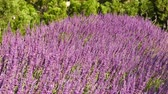 garden flowers : Purple flowers of the Mexican sage plant wave in the breeze