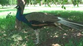 pet : the height of summer,the sun shines brightly , in the garden, walking on the grass peacock