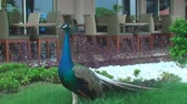 phasianidae : peacock stands near the hotel and looks around