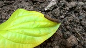 verme : Single Worm is slow movement on the green leaves