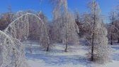 cold winter : The icy branches of birches and firs