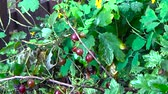 black currant : Gooseberries growing in the garden Stock Footage