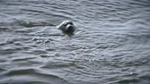 leão : Seal swims on the waves