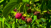 nutricional : Red raspberry on a branch