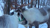 cervidae : Two deer in winter