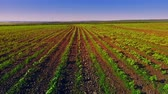 tüske : Smooth rows of plants in the field Stock mozgókép