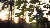 madeira de lei : Oak Leaves at Breezy Summer Sunset Stock Footage