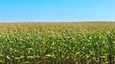 milharal : Cornfield on Windy Late Summer Day