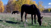 Brown horse with the foal grazing grass in a field Stock Footage