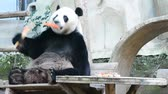sloppy : cute giant panda bear eating carrot