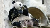 sloppy : cute giant panda bear eating bamboo