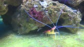скрывать : Little shrimp play hide-and-seek with fish in aquarium