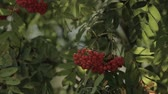 funda : Closeup of orange Rowan berries or Mountain Ash tree with ripe berries in autumn. Stok Video