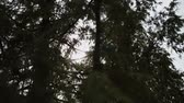 cedro : The suns rays make their way through the young branches of spruce. Summer solar wind. Windless weather