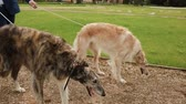 trio : Russian Greyhounds are walking in the park with people