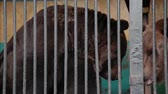 ursus : Brown Bear In Captivity On Hot Summer Day. Animal In Zoo Cage.