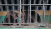 apathetic : Brown Bear In Captivity On Hot Summer Day. Animal In Zoo Cage.