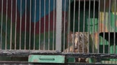 wildlife : The South American coati is eating meat. Wild animals in captivity Stock Footage
