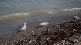 dorsz : Seagulls catch fish on the seashore.