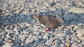 procurar : Brown doves walking on pebbles and search food among small stones. Hungry birds on the beach. Sunny summer day.