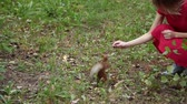 esquilo : A girl is feeding a squirrel in the forest. Vídeos