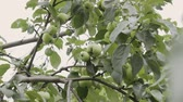 frutoso : Green apples on a tree branch in the garden. Apple tree after the rain in the evening. Panning shot
