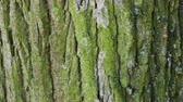 vertical growth : Tree bark close up. Sunny bright day.