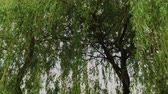 natürliche schönheit : Willow branches after rain with strong wind. Stock Footage
