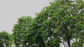 natürliche schönheit : Green branches of a tree in cloudy weather. Stock Footage