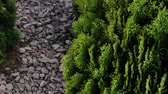 natürliche schönheit : Beautiful green tree branches Thuja stock footage video. Stock Footage