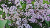 borboletas : Beautiful flowers and leaves of lilac close up.