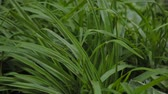 Very beautiful green long leaves of grass.