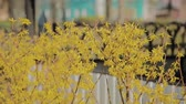 kırmızı : Forsythia bushes blossomed yellow flowers. Sunny spring day, the bush began to bloom yellow flowers. Beautiful bush in sunlight Stok Video