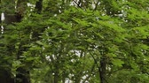 tronco de árvore : Natural green tree branches swaying from the wind. Stock Footage